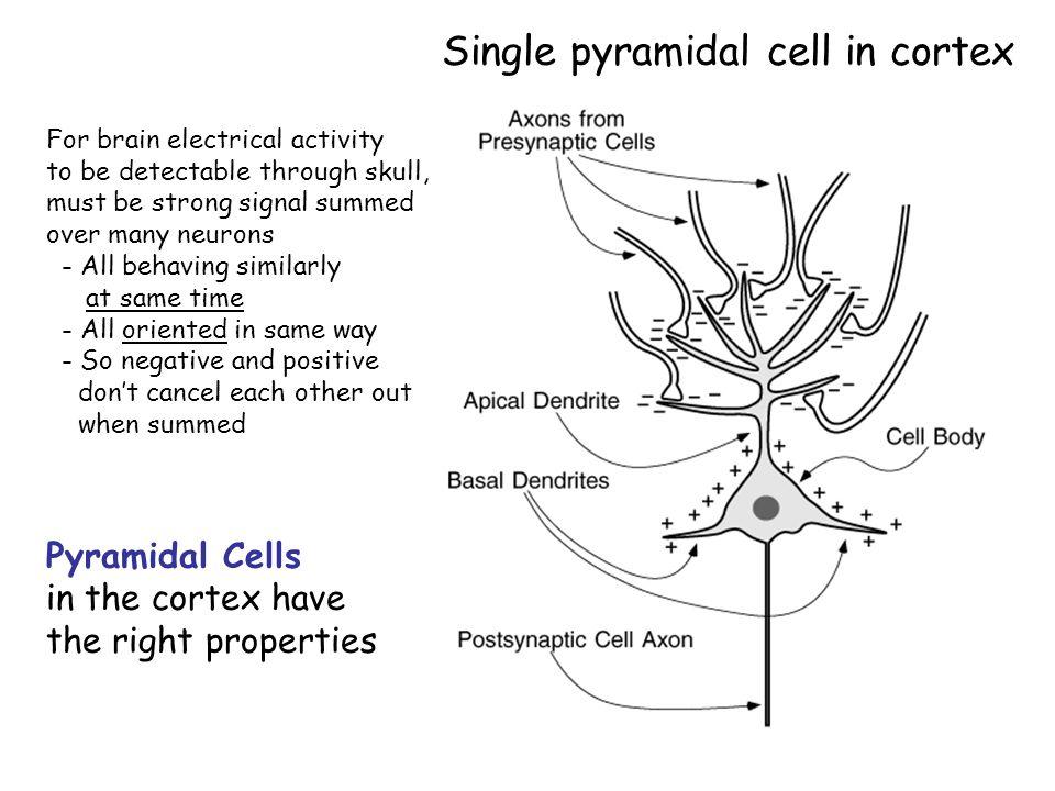 pyramidal-cells